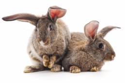 Twee vrouwelijke konijnen