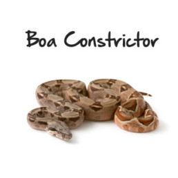 Boa Constrictor(