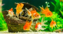 goudvissen omslag