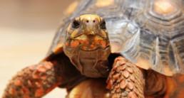 landschildpad(1)