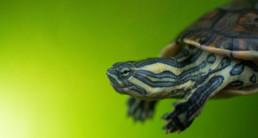 waterschildpad(2)