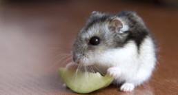 informatie hamster