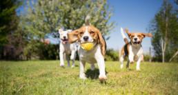 honden spelen puppy
