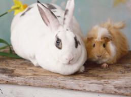 Verschil konijn en knaagdier
