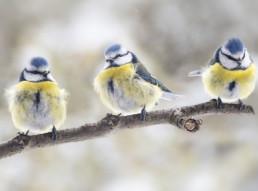 Tuinvogels en bessen