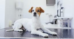 corona huisdieren hond
