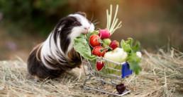 moestuin huisdieren cavia groenten fruit