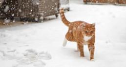Rode kat in de sneeuw, hoe bescherm je jouw kat tegen de kou?