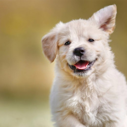 Hond aanschaffen, het kopen van een puppy