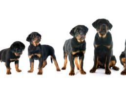 Groeiboekje van je hond, puppy in de groei