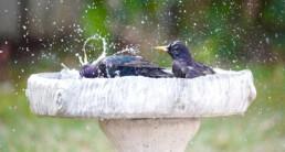 Waterschaal vogels