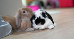 oude konijnen